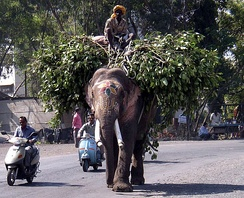 Working elephant as transport