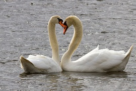 Mute swans are the largest wild birds in Lithuania[162]