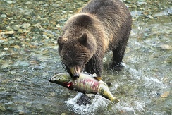 A freshly caught salmon is a very nutritious meal for an Alaska Peninsula brown bear