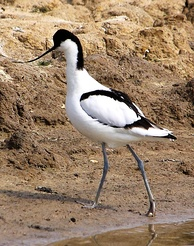An Avocet at the RSPB's Minsmere reserve. This species is used in the RSPB's logo.