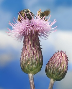 Two bees on a flower head of Creeping Thistle, Cirsium arvense