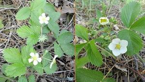 Flowers-left-Fragaria vesca,right-Fragaria viridis.jpg