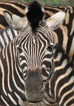 The zebra's bold pattern may induce motion dazzle in observers