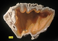 Agatized coral from the Hawthorn Group (Oligocene–Miocene), Florida. An example of preservation by replacement.