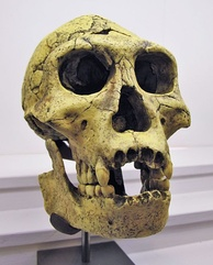 Dmanisi skull 3 (fossils skull D2700 and jaw D2735, two of several found in Dmanisi in the Georgian Transcaucasus)