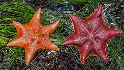 Pair of Bat stars near Los Osos
