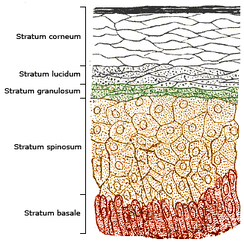 Schematic image showing a section of epidermis, with epidermal layers labeled