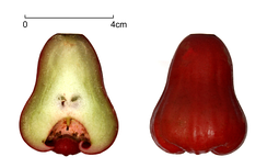 Syzygium samarangense, with a cross section of the fruit