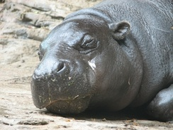 Resting at Louisville Zoo. The skull of a pygmy hippo has less pronounced orbits and nostrils than a common hippopotamus.
