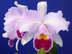 The national flower of Colombia is the endemic orchid Cattleya trianae, which was named after the Colombian botanist and physician José Jerónimo Triana.[143]