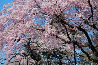 Cherry blossoms in Sendai, Miyagi, Japan. The Japanese language has different words for the pink of cherry blossoms (sakura-iro), and peach blossoms (momo-iro). Recently the word pinku has also become popular.