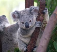 Детёныш коалы