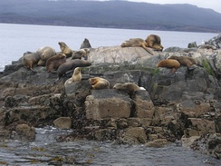 Sea lions at Isla de los Lobos in the Beagle Channel, near Ushuaia