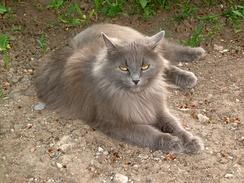 Сибирский кот пепельного окраса с фенотипом старотипного перса