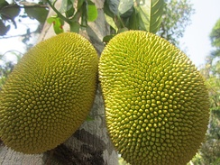 Jackfruits are the state fruit, and are a cultural icon of Kerala.