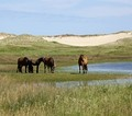 Free roaming ponies on the meadows of Sable Island, Canada