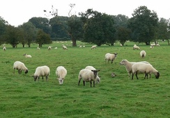 A field of sheep near Stoke Golding
