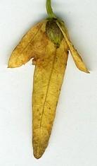 Carpinus seed.jpg