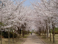 Cherry blossoms at POSTECH, South Korea