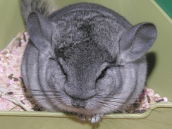 Chinchilla with its long whiskers