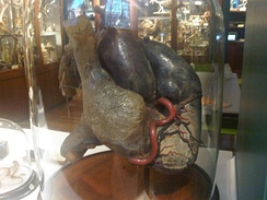 African elephant heart in a jar
