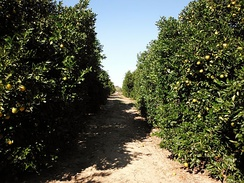 An orange grove in Florida
