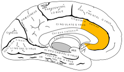 The anterior cingulate cortex shows increased activation in TOT states