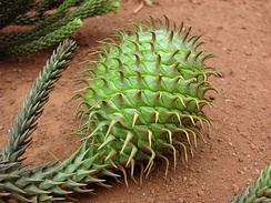 Apophyses on the tips of the cone scales of Araucaria cunninghamii amount to spikes.