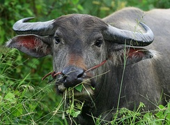 A water buffalo in Thailand