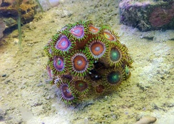 This dragon-eye zoanthid is a popular source of color in reef tanks