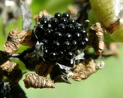 Плоды венериной мухоловки