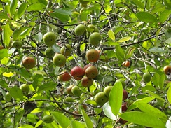 A kokum tree soon to be ready for harvest