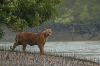 A Bengal tiger in the Sundarbans