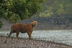 A Bengal tiger (Panthera tigris tigris) from Sundarbans