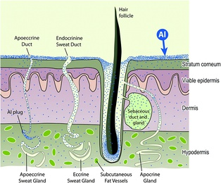 Schematic of aluminium absorption by human skin.[133]