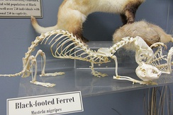 Skeletons of black-footed ferret (left) and prairie dog (right) articulated to show the predator-prey relationship between the two. (Museum of Osteology)