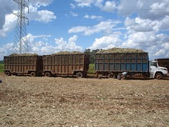 Photo of trailer trucks filled with plant cane