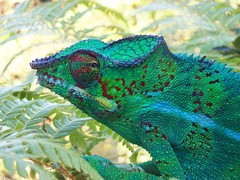 A panther chameleon
