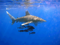 Oceanic Whitetip Shark swims at Elphinstone Reef in Egypt in the Red Sea on November 5, 2003