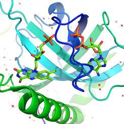 The active site of riboflavin kinase bound to its products--FMN (on left) and ADP (on right). Coordinates from PDB ID: 1N07.[28]