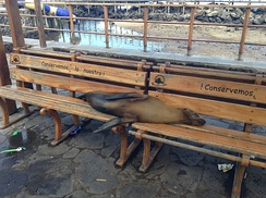 Adult Galápagos sea lion resting on a park bench in Puerto Baquerizo Moreno.