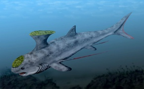 Akmonistion of the shark order Symmoriida roamed the oceans of the early Carboniferous.