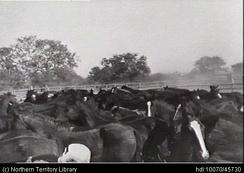 Horse muster, Wave Hill Station, ca. 1954