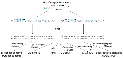 Figure 3: DNA methylation analysis methods not based on methylation-specific PCR. Following bisulfite conversion, the genomic DNA is amplified with PCR that does not discriminate between methylated and non-methylated sequences. The numerous methods available are then used to make the discrimination based on the changes within the amplicon as a result of bisulfite conversion.