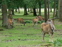 Elands are mainly grazers.