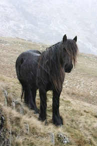 A wild Fell pony on the fells, native to North West England