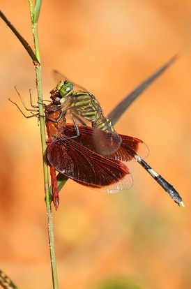 A dragonfly of the Sabine Orthetrum genus is preying on another dragonfly of the Neurothemis genus.