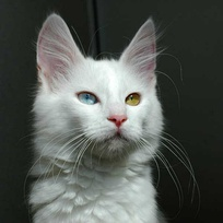 Angora cat with odd eyes (heterochromia), which is common among the Angoras