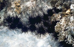 Long-spined sea urchin (Diadema antillarum)