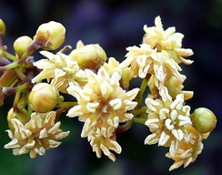 Amborella trichopoda may have characteristic features of the earliest flowering plants